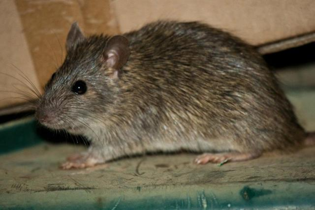 long-haired rat