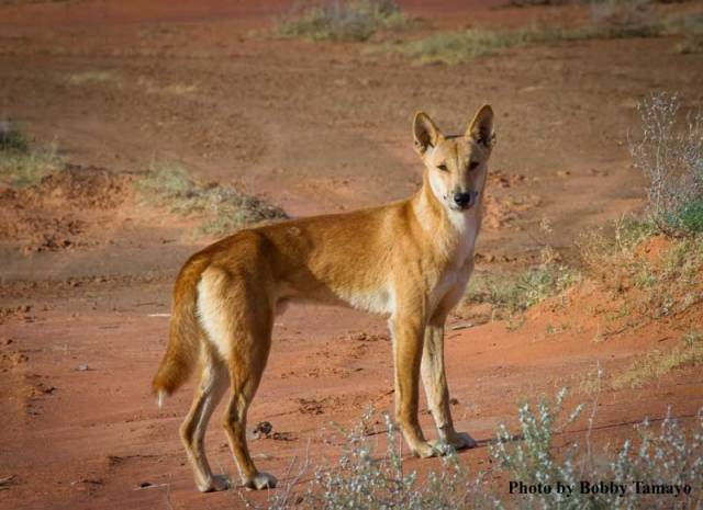The dingo is one of Australia's top-predators. Photo by Bobby Tamayo.