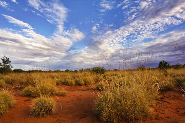Spinifex (Triodia basedowii) in the Simpson Desert, Qld. Photo by Aaron Greenville.