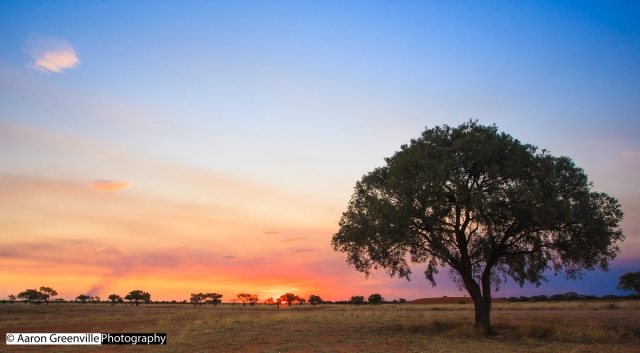 A Gidgee stands against a smoky sunset. Photo by Aaron Greenville