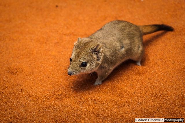 A mulgara from the Simpson Desert, Qld, Australia.