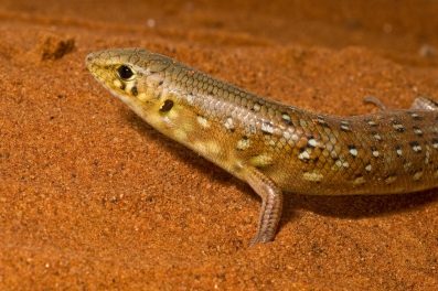 The panther skink (Ctenotus pantherinus) from the Simpson Desert, Australia.
